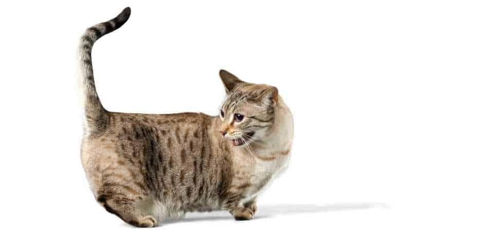 A tabby munchkin cat standing up looking backwards.