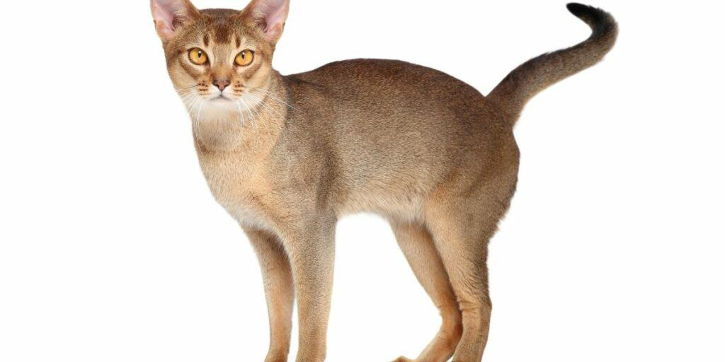 An Abyssinian cat standing against a white background facing the camera.