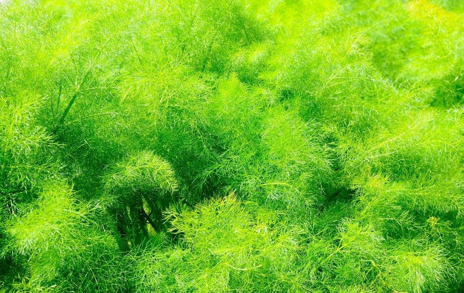 A close up of lots of Asparagus Fern.