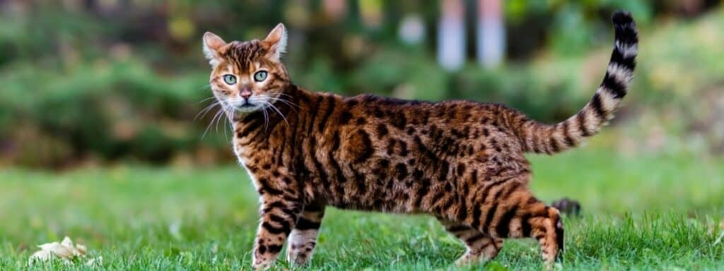 A Bengal cat standing side on facing the camera outside on grass.