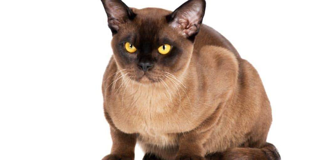 A Burmese cat against a white background. The Burmese cat is crouching facing forwards.