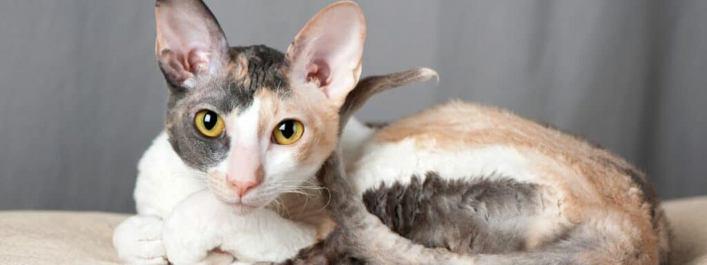 A multicoloured Cornish Rex cat laying down