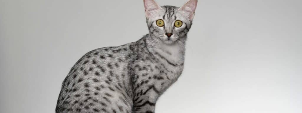 An Egyptian Mau cat sitting down looking at the camera