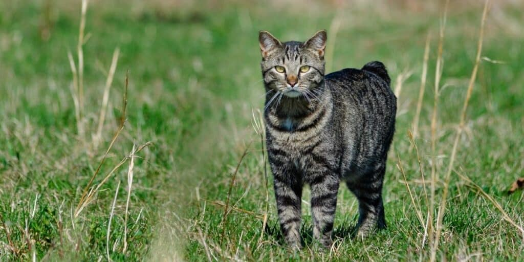 A Manx cat standing on grass facing the camera.