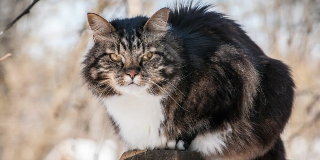 A Norwegian Forest Cat crouching outside.
