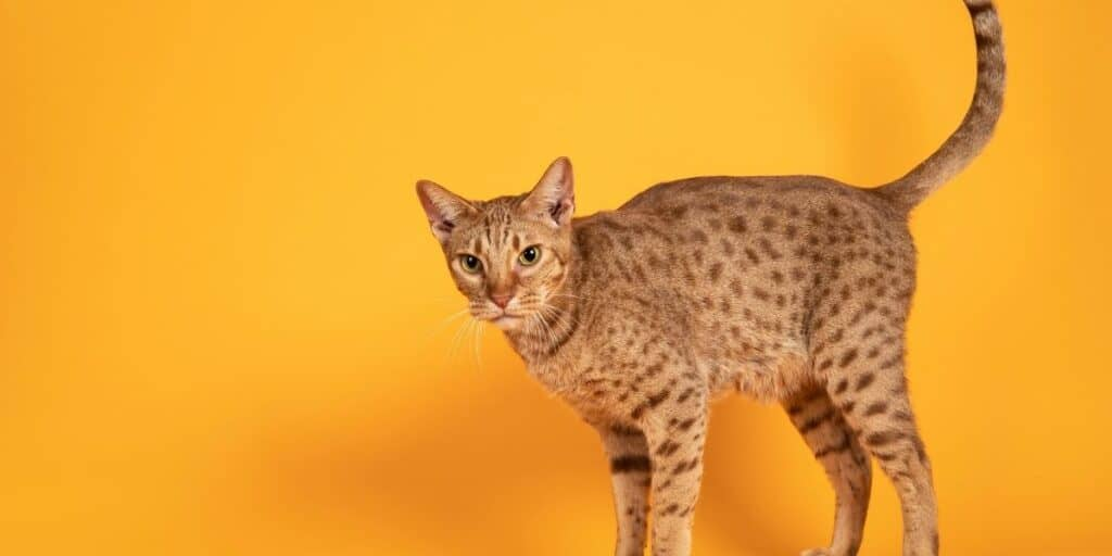 An Ocicat infant of a yellow background.