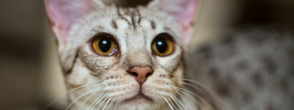 A close up picture of an Ocicat.