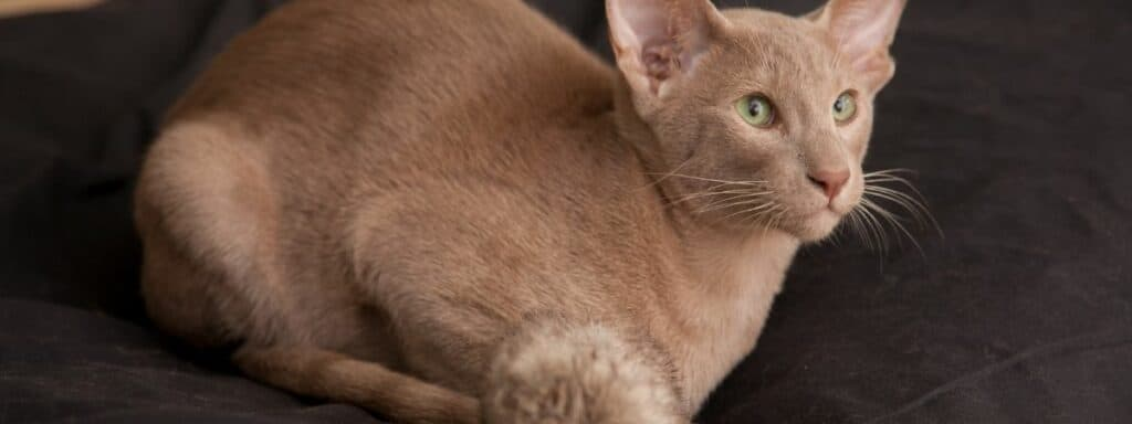 A ginger Oriental Short-haired cat sitting down