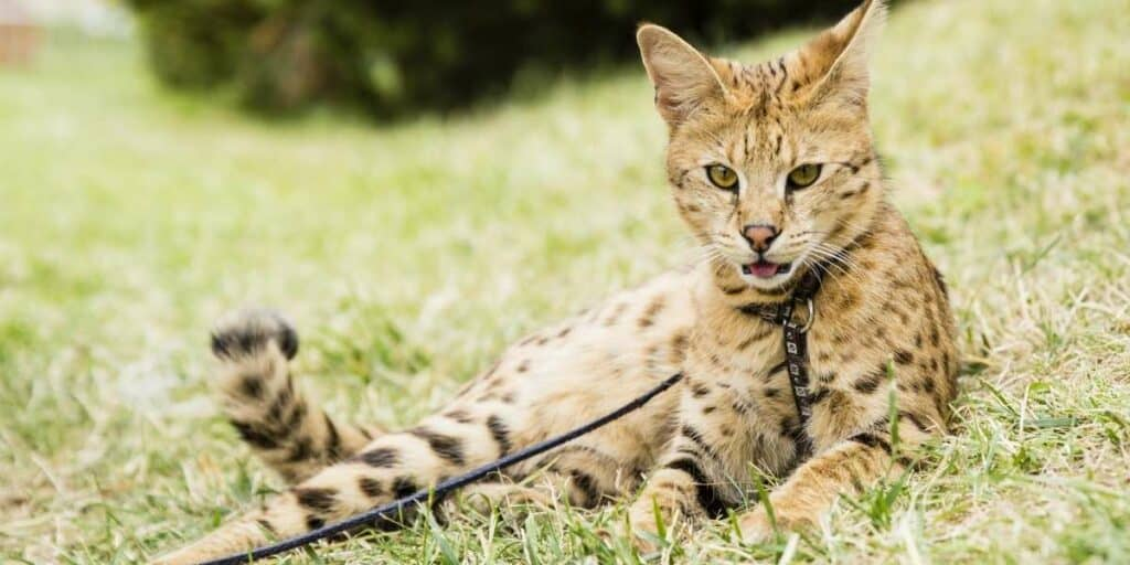 A Savannah cat on a lead laying down on grass.
