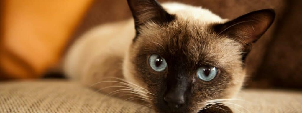A Siamese cat laying down on a cream sofa