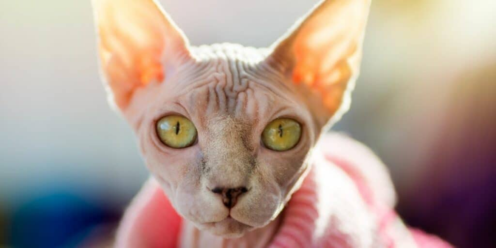 A pink Sphynx portrait. The Sphynx cat has a pink jumper on.