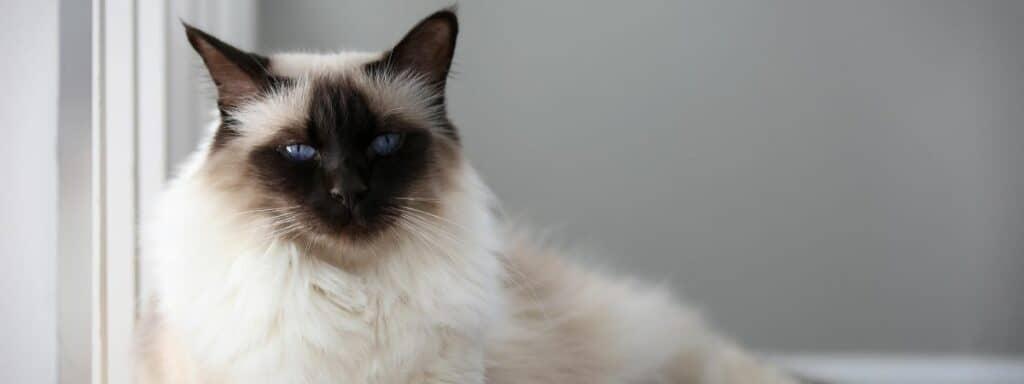 A The Balinese cat with bright blue eyes laying down