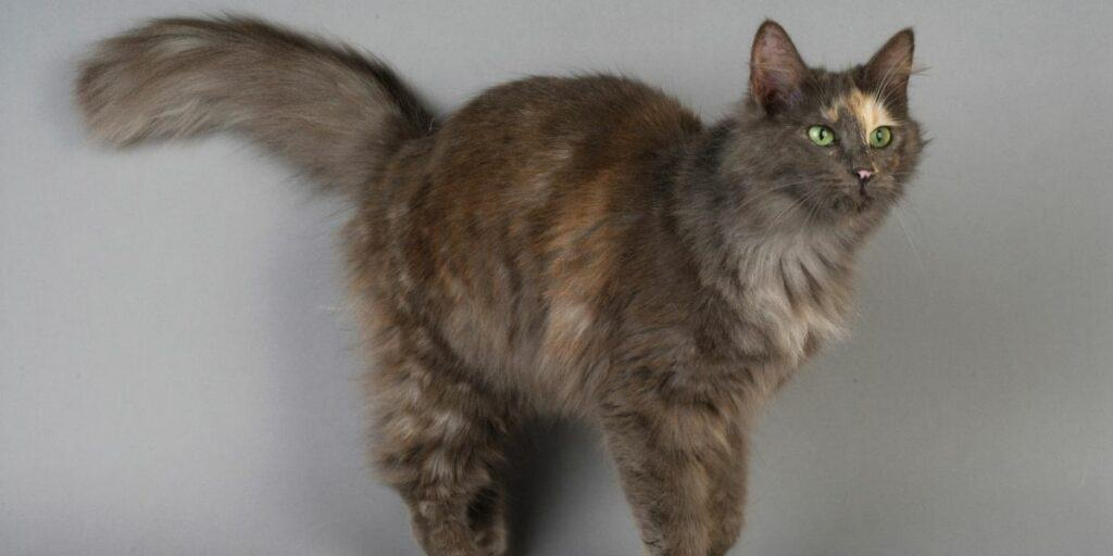 A Turkish Angora cat standing against a grey wall.