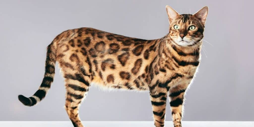 An adult Bengal cat standing side on against a grey background.