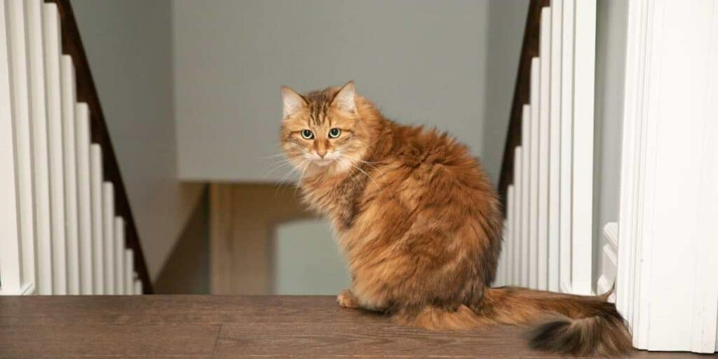 A Siberian Cat sitting at the top of the stairs.