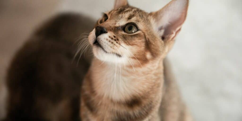 A close up image of a Chausie cat.