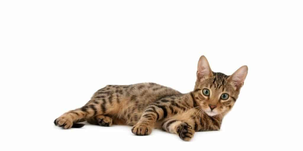 A young Serengeti cat against a white background.