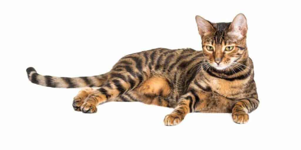 A Toyger cat laying down against a white background.