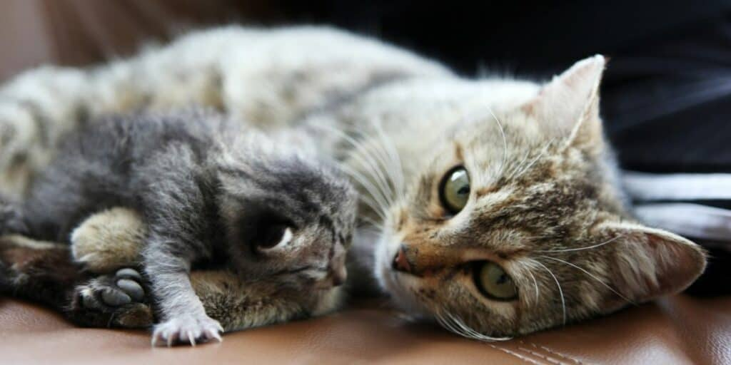 A tabby mother cat laying down with her newborn kitten.