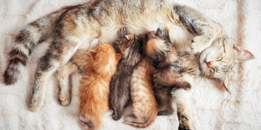 A tabby cat nursing her litter of kittens