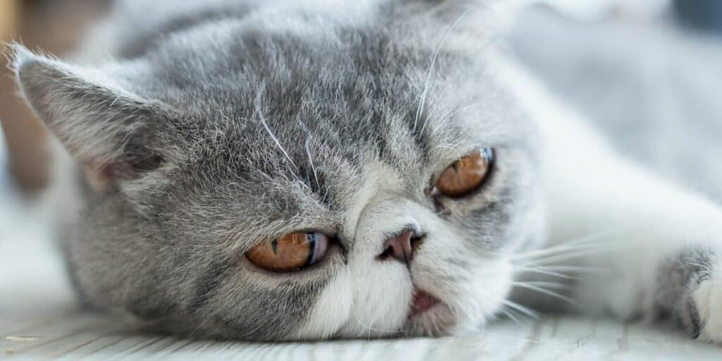 A grey and white exotic shorthair cat