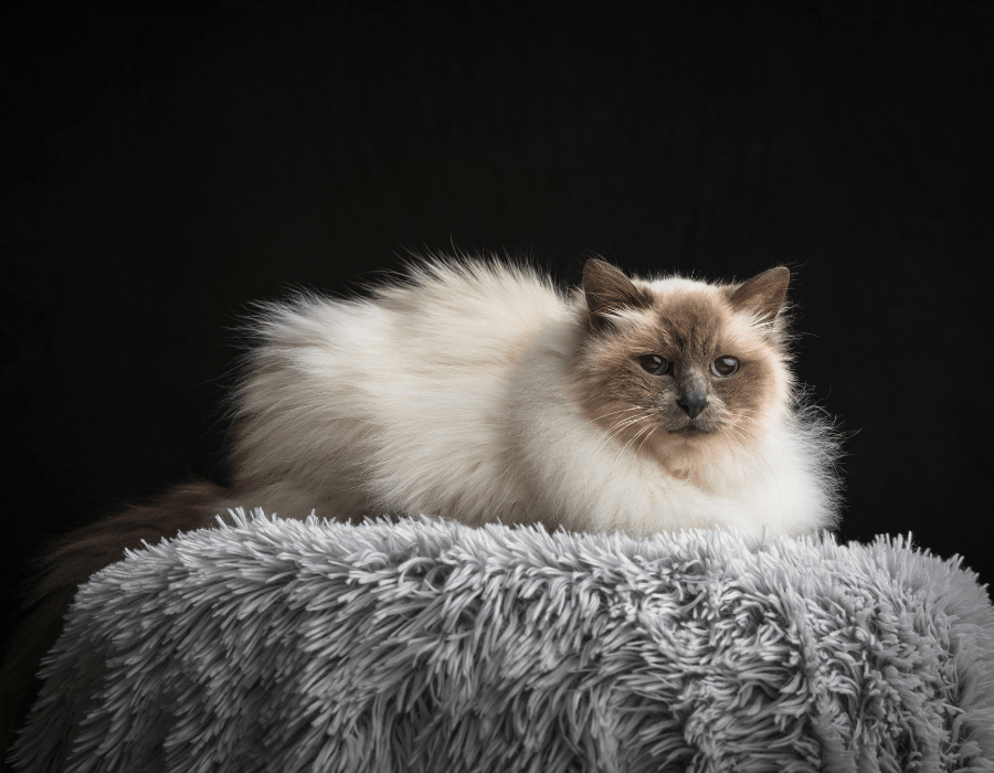 A Burmese cat laying on a fluffy grey bed.
