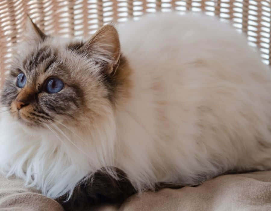 A Birman laying down against a wicker background