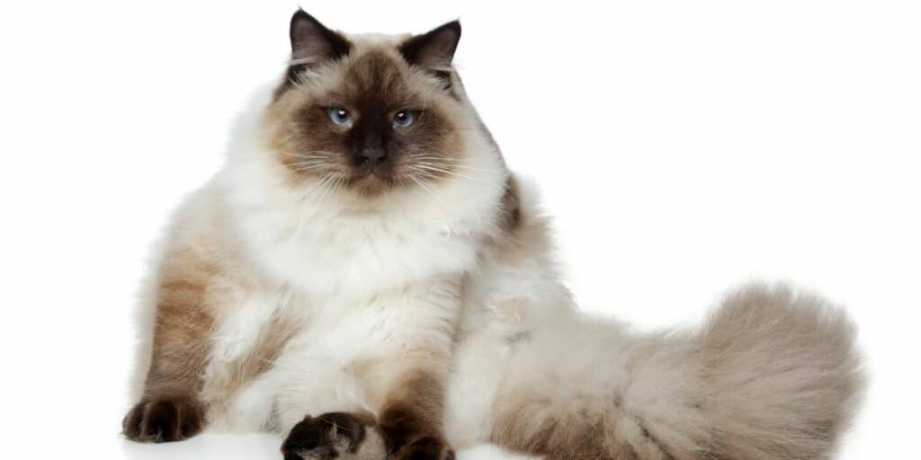 A Birman cat sitting down in front of a white background
