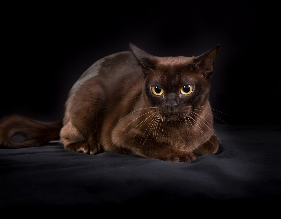 A Burmese cat sitting down against a block background