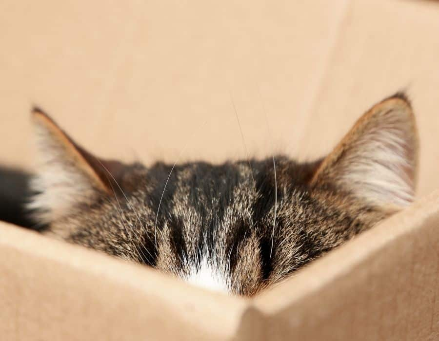 tabby cat ears showing at the top of a box