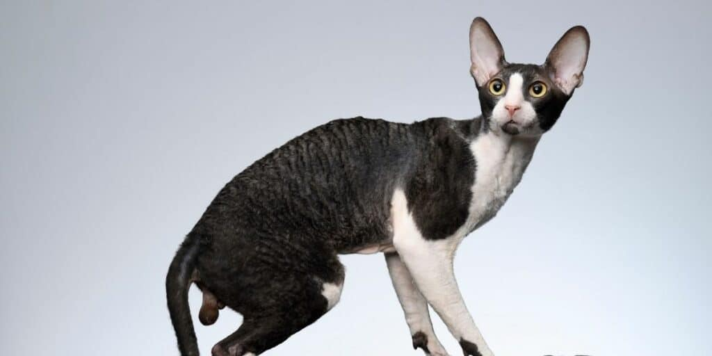 A black and white Cornish Rex Cat against a blue background