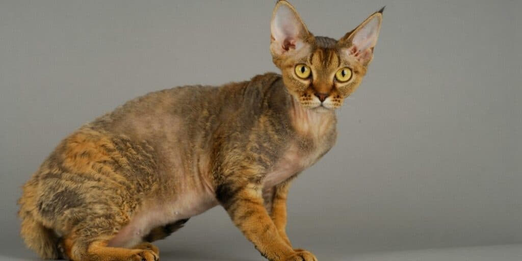 A ginger and brown Devon Rex cat against a grey wall.