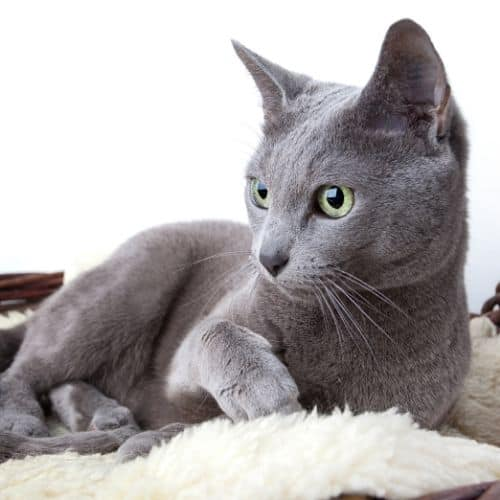 a young Russian Blue Cat Laying Down