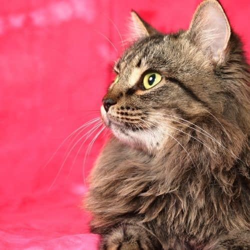 A brown Siberian cat against a pink background