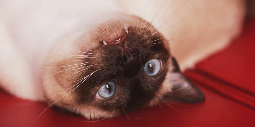 an upside down tonkinese cat laying on a read blanket