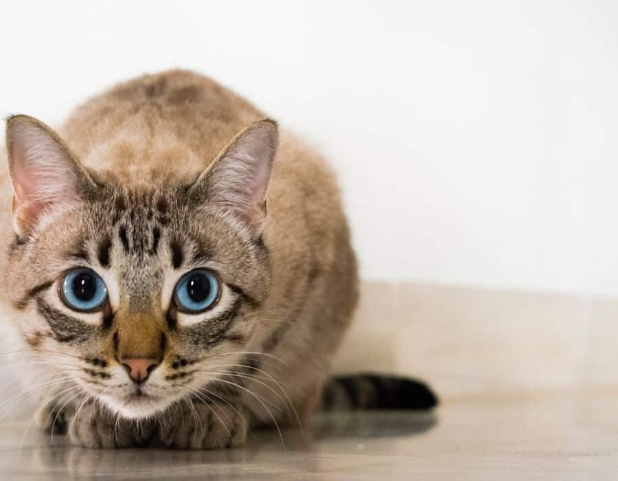 A brown cat crouching with bright blue eyes that are dilated.