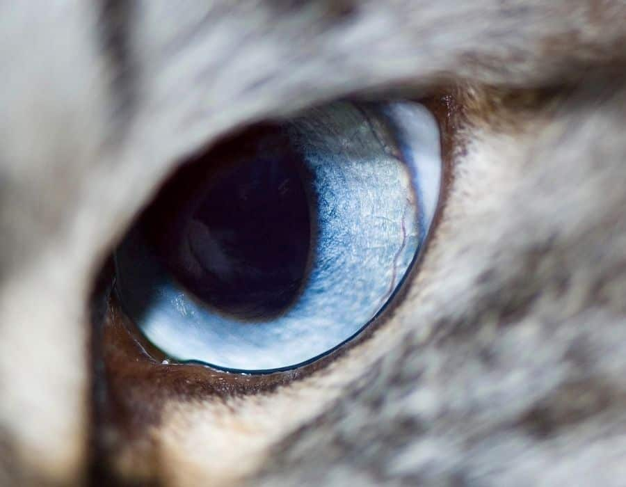 A close up imagine of a grey cats dilated eye