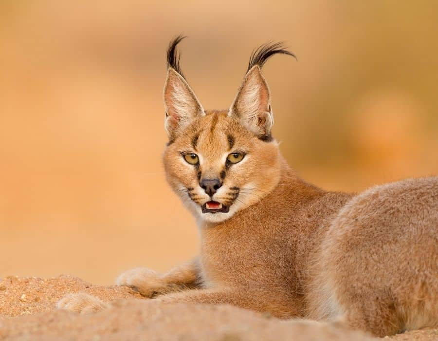 A Caracal Cat laying down in sand