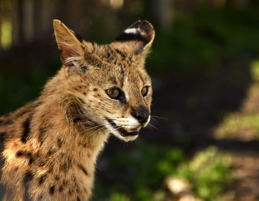 A Serval Cat panting outside